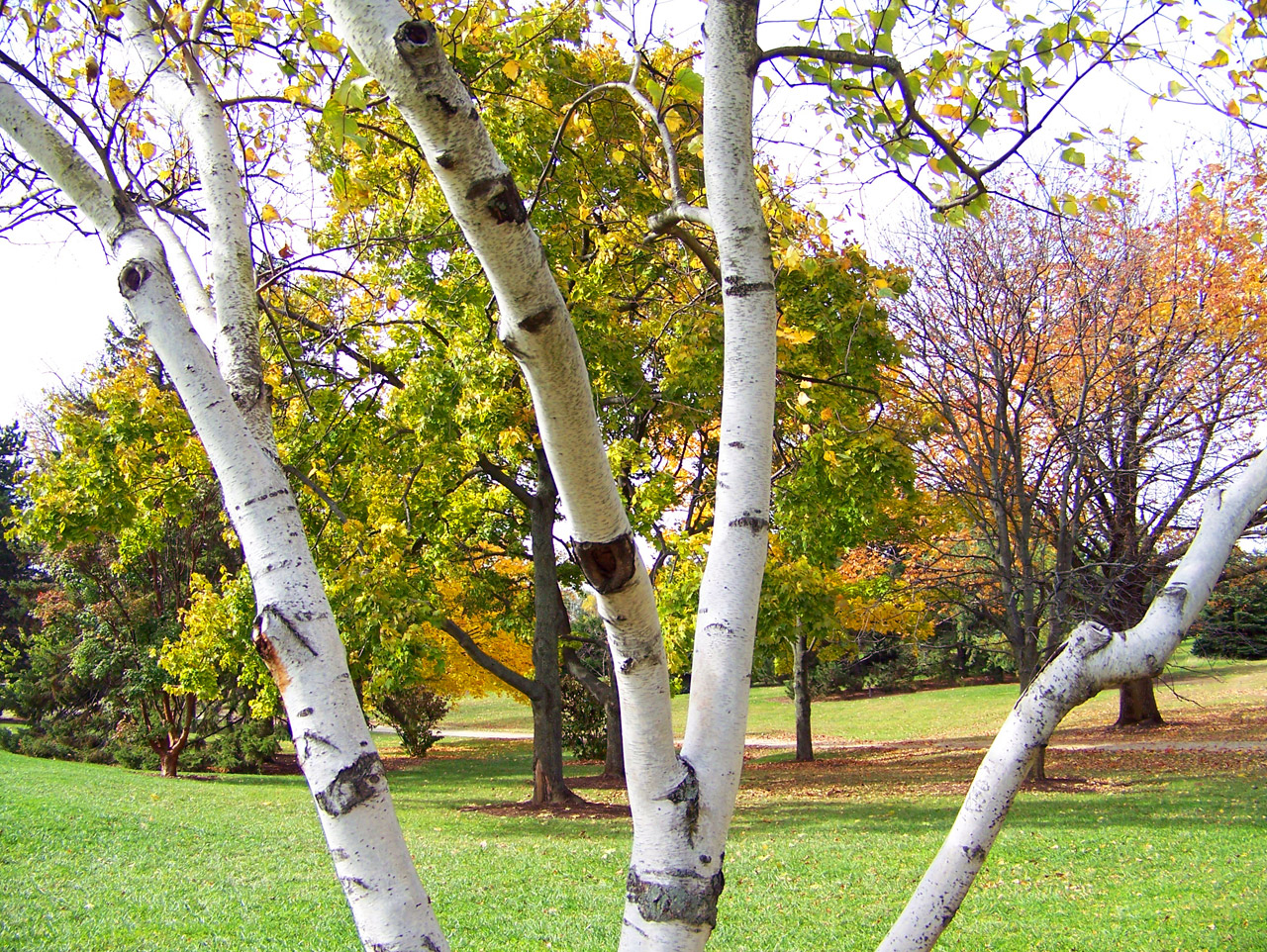 4 Ways To Save Your Birch Trees Blooma Tree Experts