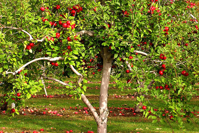 Five Steps to Healthy and Productive Apple Trees in Washington State
