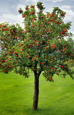 Healthy and Productive Apple Trees